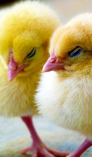 Kuikentjes worden versnippert is een reden waarom geen eieren eten heel normaal is voor veel mensen. Uitleg op Vegetarisch Weekmenu