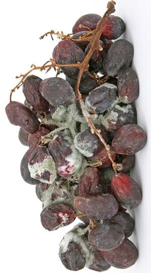 Houdbaarheid: wanneer is eten verrot, beschimmeld? Druiven Uitleg op Vegetarisch Weekmenu