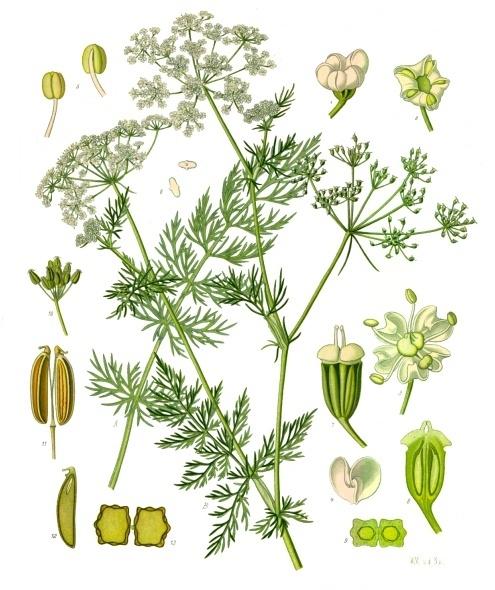 Karwij of kummel Köhler–s_Medizinal-Pflanzen-172