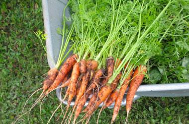Wortelen worteltjes bospeen loof voedselverspilling tips AH Moestuintje Makkelijke Moestuin Vegetarisch Weekmenu