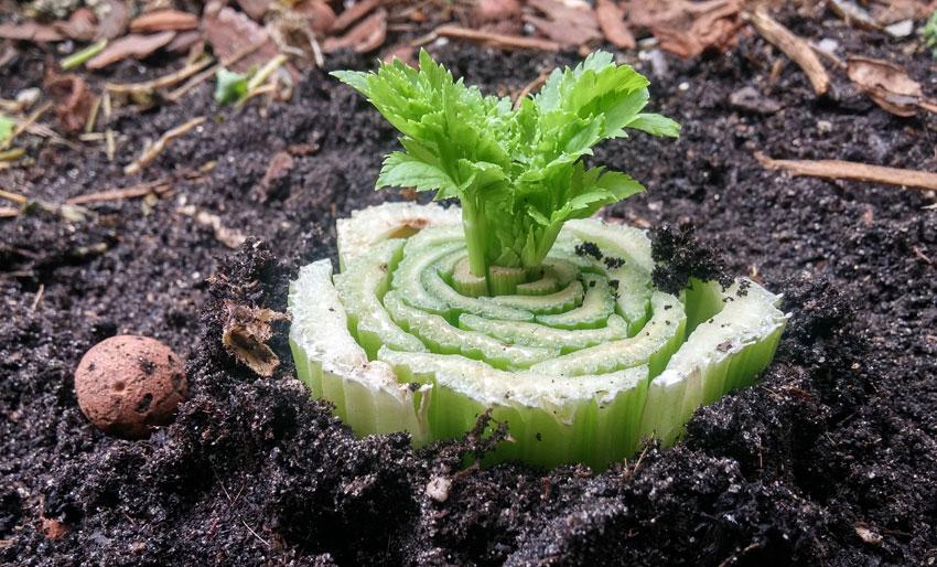 Bleekselderij zelf opnieuw laten groeien groente kweken op water Vegetarisch Weekmenu