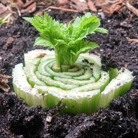 Bleekselderij zelf opnieuw laten groeien hergebruken groentetuin Vegetarisch Weekmenu