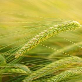 Wat is het verschil tussen gerst, gort, grutten en parelgort graan